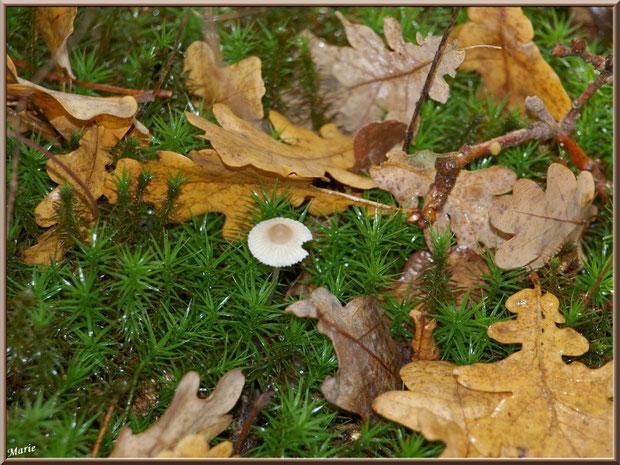 Cropin Desséminé sur lit de mousse et feuilles de chêne automnales en forêt sur le Bassin d'Arcachon