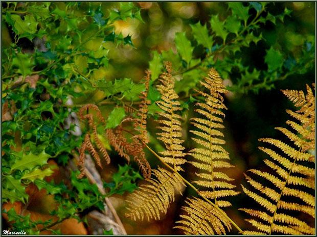 Houx et fougères d'or automnales, forêt sur le Bassin d'Arcachon (33)
