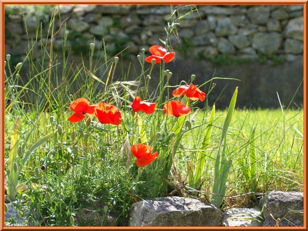 Pied de Coquelicot en fleurs dans les jardins de l'ancien monastère de la chapelle Notre Dame de Beauregard, village d'Orgon, entre Alpilles et Lubéron (13)