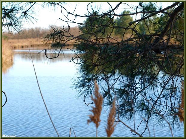 Pins et roseaux en bordure d'un réservoir, en janvier, sur le Sentier du Littoral, secteur Moulin de Cantarrane, Bassin d'Arcachon
