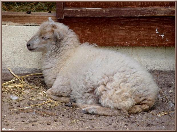 Mouton, Parc de la Coccinelle, mini-ferme à Gujan-Mestras, Bassin d'Arcachon (33)