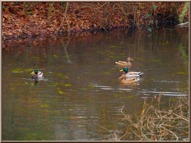 Canards et reflets au fil du Canal des Landes au Parc de la Chêneraie à Gujan-Mestras (Bassin d'Arcachon)