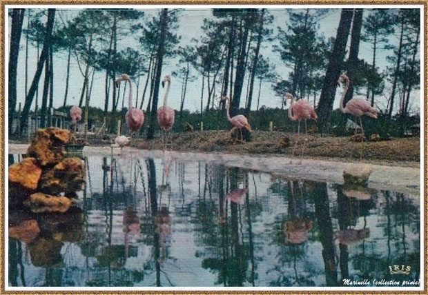 Gujan-Mestras autrefois : Flamants roses, ancien Zoo de La Hume, Bassin d'Arcachon (carte postale, collection privée)