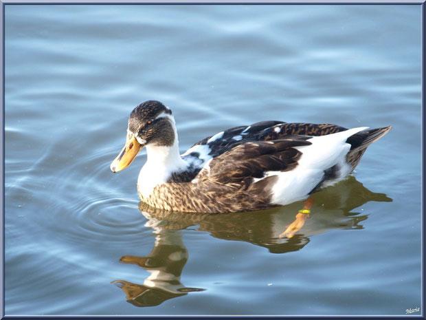 Canard dans le bassin à l'entrée du Parc de la Chêneraie à Gujan-Mestras (Bassin d'Arcachon)