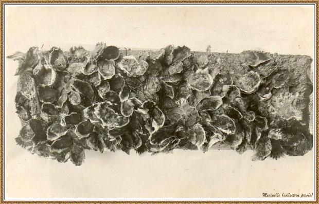 Gujan-Mestras autrefois : Naissain d'huîtres capté sur une tuile, Bassin d'Arcachon (photo collection privée)