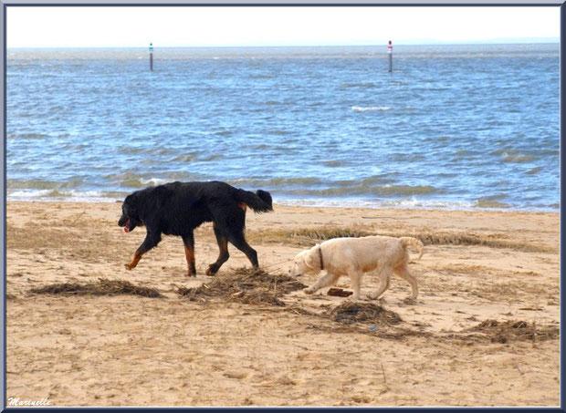 Chiens en promenade sur la plage (Port du Canal, Bassin d'Arcachon)