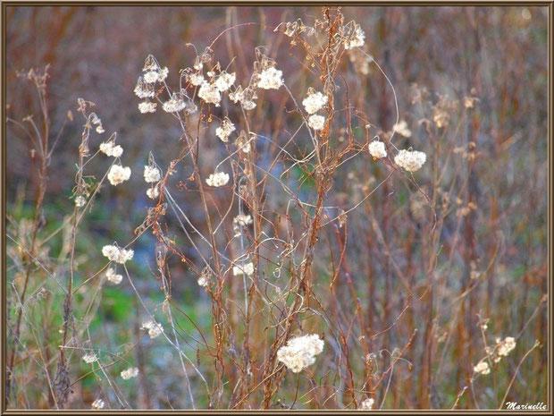 Akènes hivernaux de Séneçon Jacobée, flore sur le Bassin d'Arcachon (33)