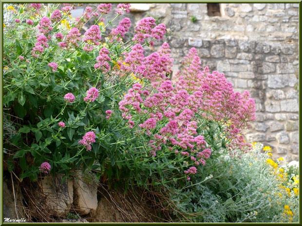 Valérianes et immortelles sur un muret, Baux-de-Provence, Alpilles (13)