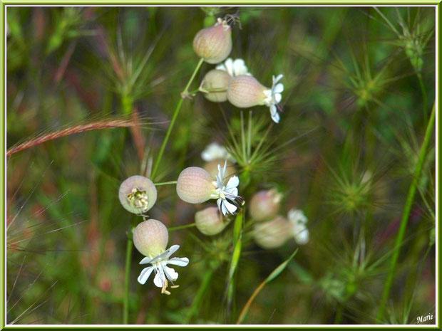 Silène Enflée et herbacées en campagne à Saint Rémy de Provence, Alpilles (13)