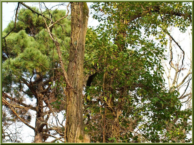 Pins, chênes et lierre au Parc de la Chêneraie à Gujan-Mestras (Bassin d'Arcachon)