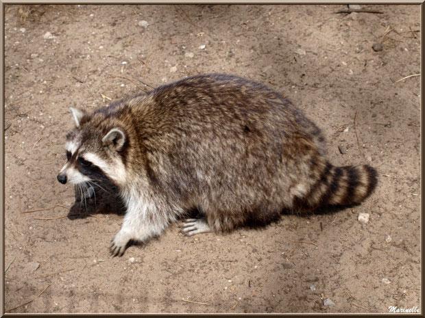Raton Laveur, Zoo du Bassin d'Arcachon, La Teste de Buch (33)