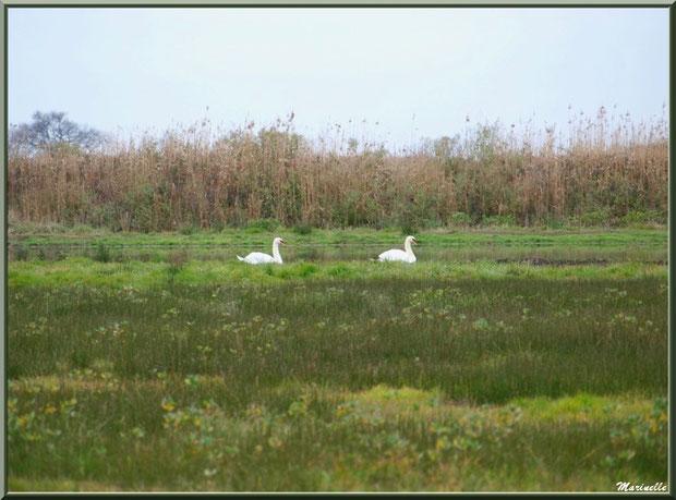 Couple de cygnes au fil de l'eau dans les prés salés, Sentier du Littoral secteur Pont Neuf, Le Teich, Bassin d'Arcachon (33)