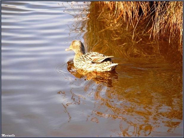 Jeune canard au fil de l'eau dans un réservoir, Sentier du Littoral, secteur Domaine de Certes et Graveyron, Bassin d'Arcachon (33)