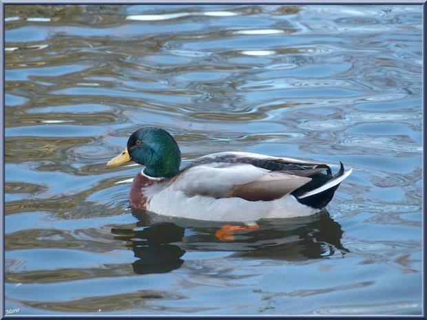 Canard Colvert dans le bassin à l'entrée du Parc de la Chêneraie à Gujan-Mestras (Bassin d'Arcachon)