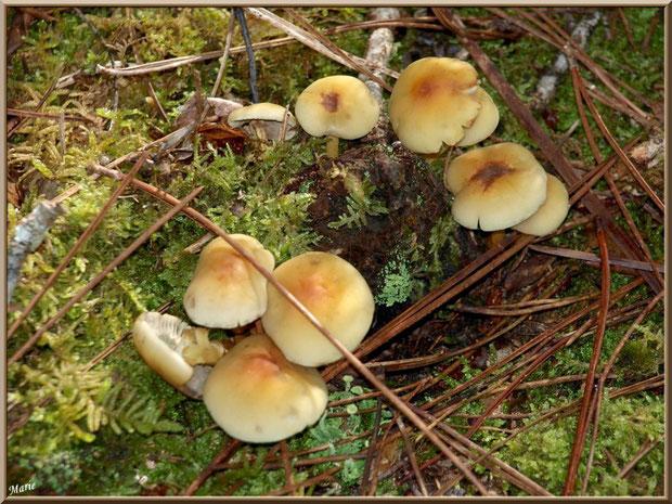Hypholomes en Touffe sur lit d'aiguilles de pin et de mousse en forêt sur le Bassin d'Arcachon