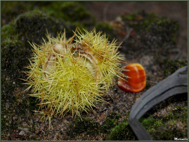 Bogue de Châtaignier éclatée au sol en automne, flore Bassin d'Arcachon (33)
