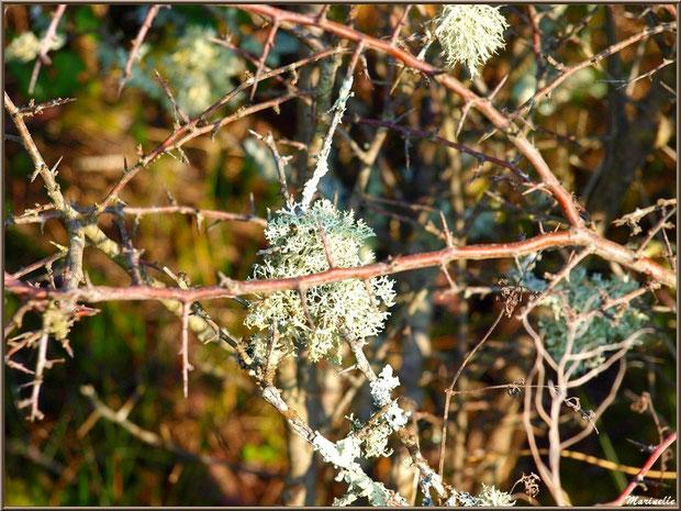Mousse du Chêne sur branches d'aubépine, Sentier du Littoral, secteur Domaine de Certes et Graveyron, Bassin d'Arcachon (33)