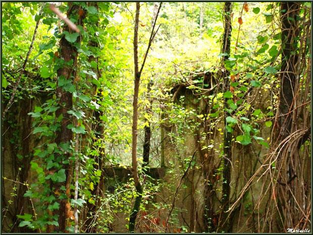 Ruines d'une ancienne ferme, au milieu des bois, envahies par la végétation, forêt sur le Bassin d'Arcachon (33)