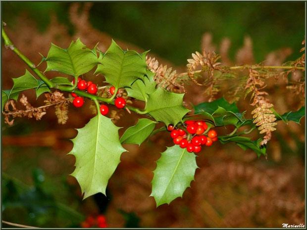 Guirlande de houx fleuri et de fougère automnale, forêt sur le Bassin d'Arcachon (33)