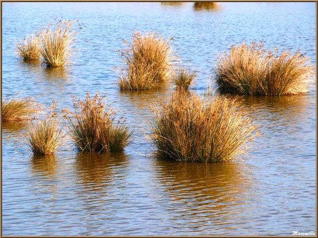 Un réservoir avec les reflets de poufs herbeux, Sentier du Littoral, secteur Domaine de Certes et Graveyron, Bassin d'Arcachon (33)