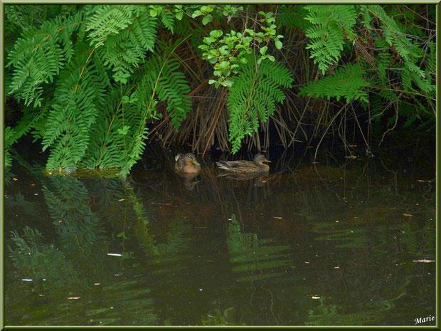 Canard et reflets sur le Canal des Landes au Parc de la Chêneraie à Gujan-Mestras (Bassin d'Arcachon)