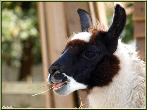 """""""Serge"""" le Lama, en repas, Parc de la Coccinelle, mini-ferme à Gujan-Mestras, Bassin d'Arcachon (33)"""