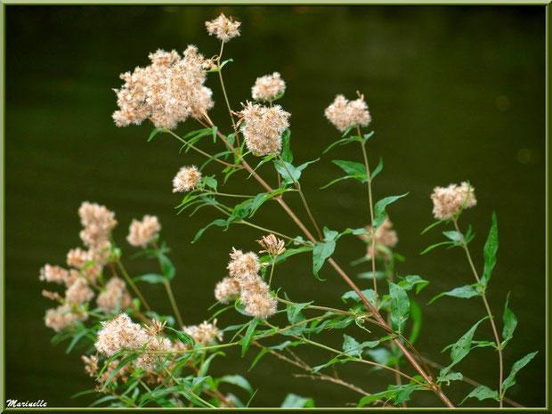 Eupatoire Chanvrine ou Chavrin ou Herbe de St Cunégonde ou Origan des marais ou Trèfle de terre, en fin de floraison, flore sur le Bassin d'Arcachon (33)