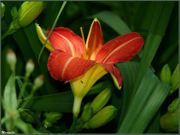 Le sentier de la Vallée du Bas : Hémérocalle (fleur et boutons)- Les Jardins du Kerdalo à Trédarzec, Côtes d'Armor (22)