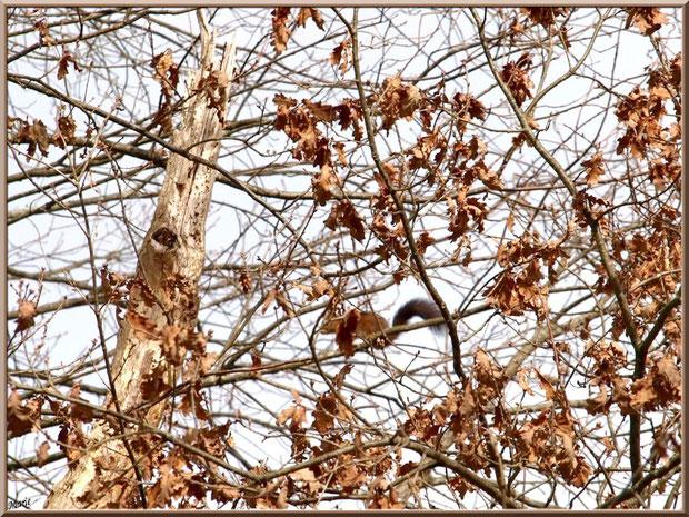 Ecureuil en camouflage dans un chêne au Parc de la Chêneraie à Gujan-Mestras (Bassin d'Arcachon)