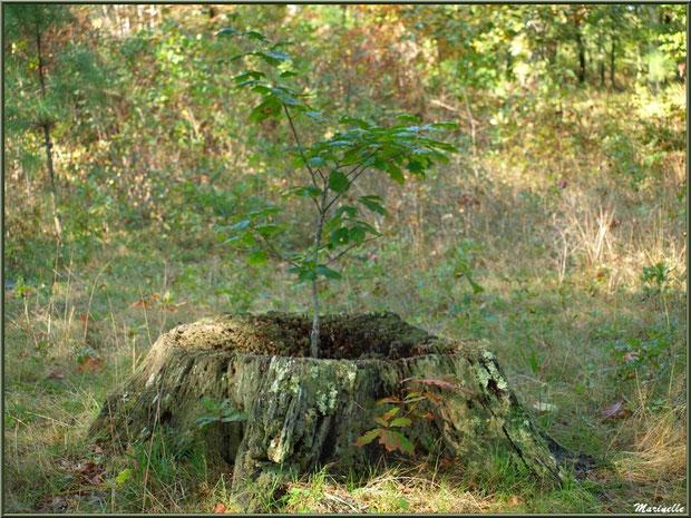 Espoir de vie ! Jeune chêne poussant au coeur d'un tronc mort, forêt sur le Bassin d'Arcachon (33)