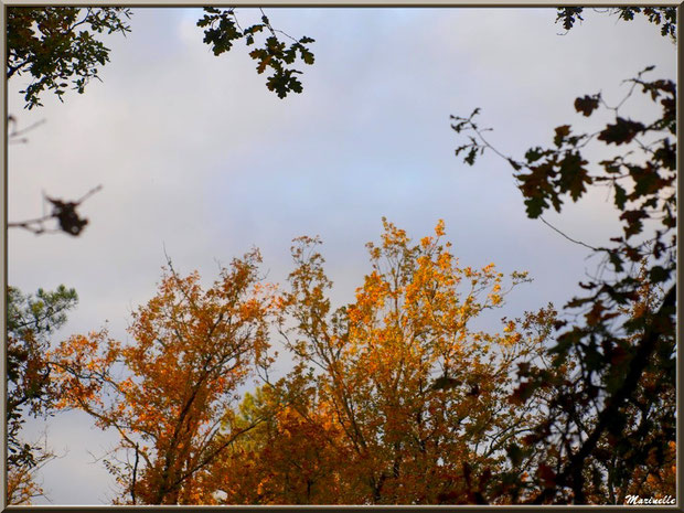 Cimes de chênes en parure automnale vers le ciel, forêt sur le Bassin d'Arcachon (33)