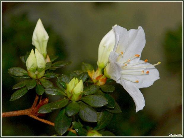 Azalée blanche au jardin