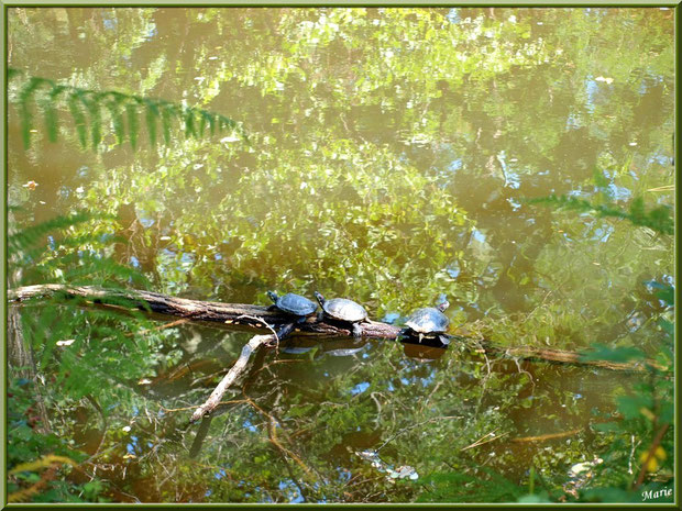 Tortues de Floride en trio sur une branche et reflets sur le Canal des Landes au Parc de la Chêneraie à Gujan-Mestras (Bassin d'Arcachon)