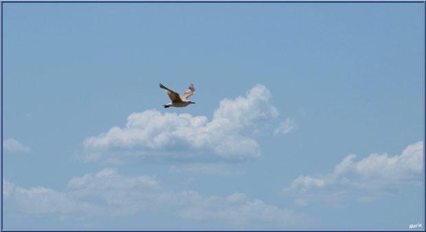 Mouette dans le ciel de Talmont-sur-Gironde, Charente-Maritime