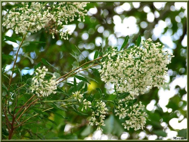 Baccharis ou Faux Cotonnier en fleurs, flore Bassin d'Arcachon (33)
