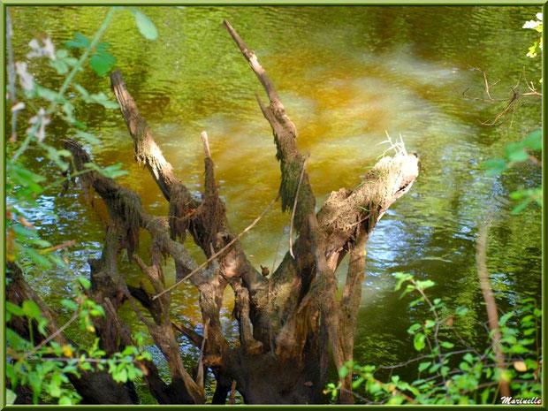 Bois moussus et reflets en bordure de La Leyre, Sentier du Littoral au lieu-dit Lamothe, Le Teich, Bassin d'Arcachon (33)