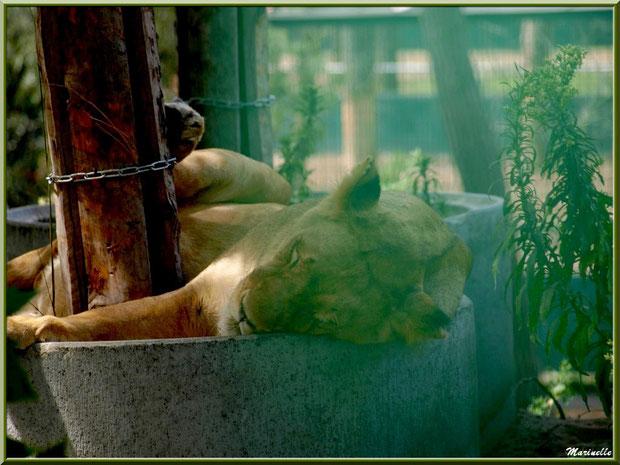 Lionne endormie, Zoo du Bassin d'Arcachon, La Teste de Buch (33)