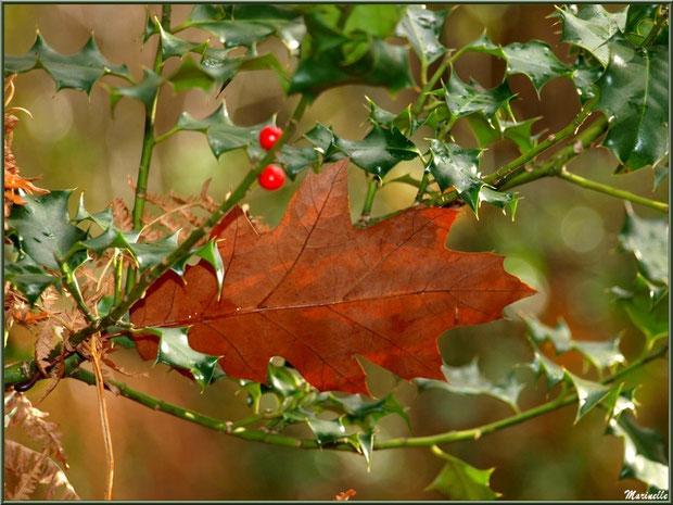 Houx fleuri, feuille de chêne et fougère en forêt sur le Bassin d'Arcachon (33