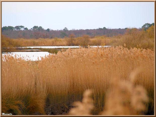 Roseaux et prés salés en bordure des réservoirs, Sentier du Littoral, secteur Port du Teich en longeant La Leyre, Le Teich, Bassin d'Arcachon (33)