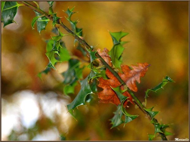 Feuilles de chêne et houx en tenue automnale, forêt sur le Bassin d'Arcachon (33)
