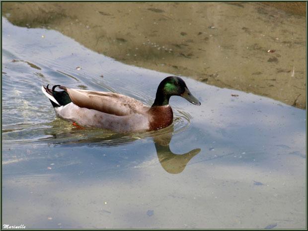 Canard au fil de l'eau d'un ruisseau à la Pisciculture des Sources à Laruns, Vallée d'Ossau (64)
