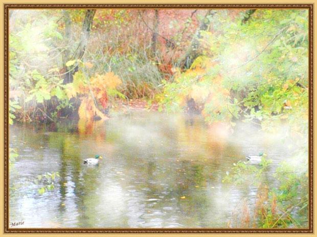 Canards Colvert dans la brume au fil du Canal des Landes automnal au Parc de la Chêneraie à Gujan-Mestras (Bassin d'Arcachon)