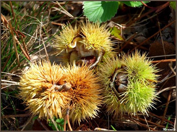 Bogues de Châtaignier éclatées au sol en automne, flore Bassin d'Arcachon (33)