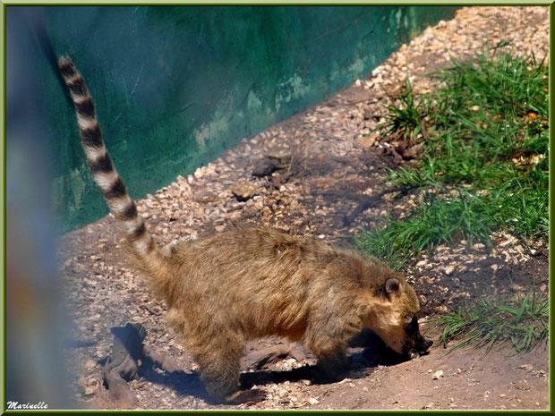 Chien Viverrin, Zoo du Bassin d'Arcachon, La Teste de Buch (33)