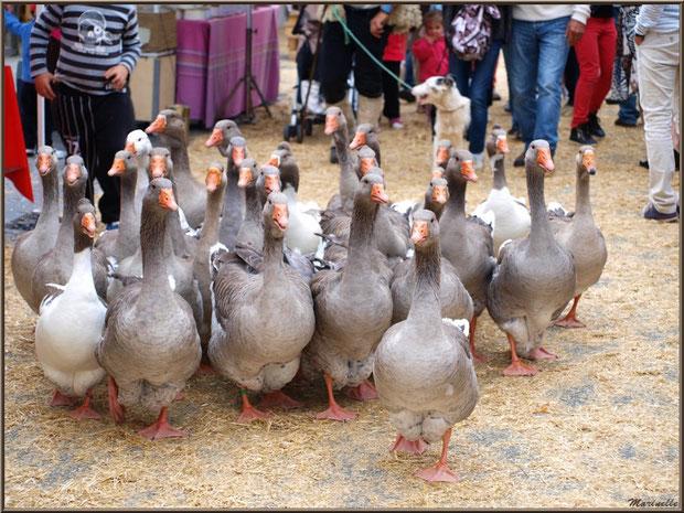 Le troupeau d'oies devançant le montreur d'oies avec son chien, Fête au Fromage, Hera deu Hromatge, à Laruns en Vallée d'Ossau (64)