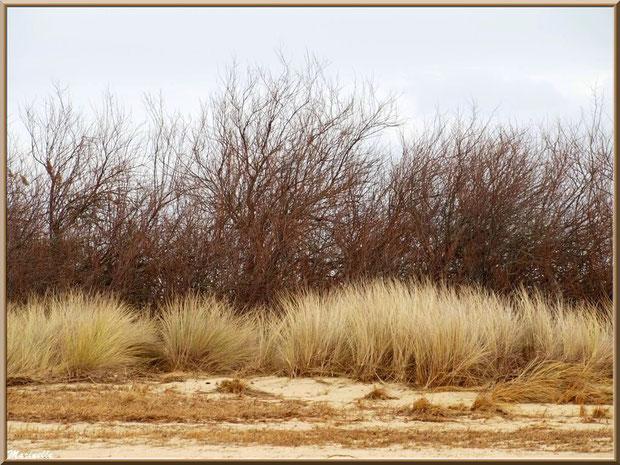 Végétation hivernale en bordure de plage (oyats et tamaris) en bordure de plage côté Bassin sur le Sentier du Littoral, secteur Moulin de Cantarrane, Bassin d'Arcachon