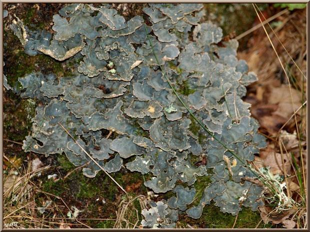 Parmelia Sulcata en forêt du Bassin d'Arcachon