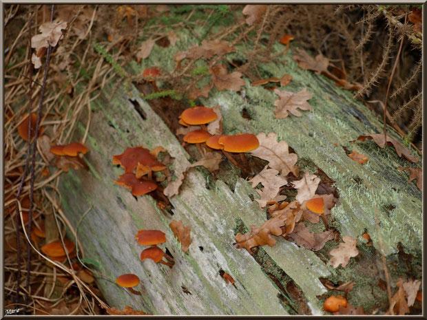 Collybies en famille sur un tronc coupé en forêt sur le Bassin d'Arcachon