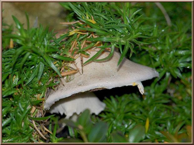 Agarics des Jachères dans notre jardin sous un pied de romarin