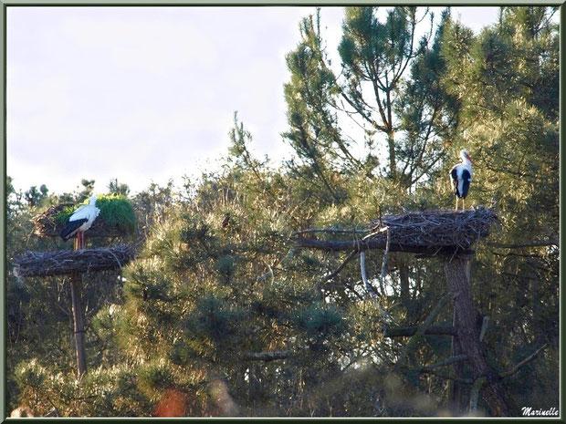 Cigognes dans leur nid perché dans les pins, Sentier du Littoral, secteur Port du Teich en longeant La Leyre, Le Teich, Bassin d'Arcachon (33)